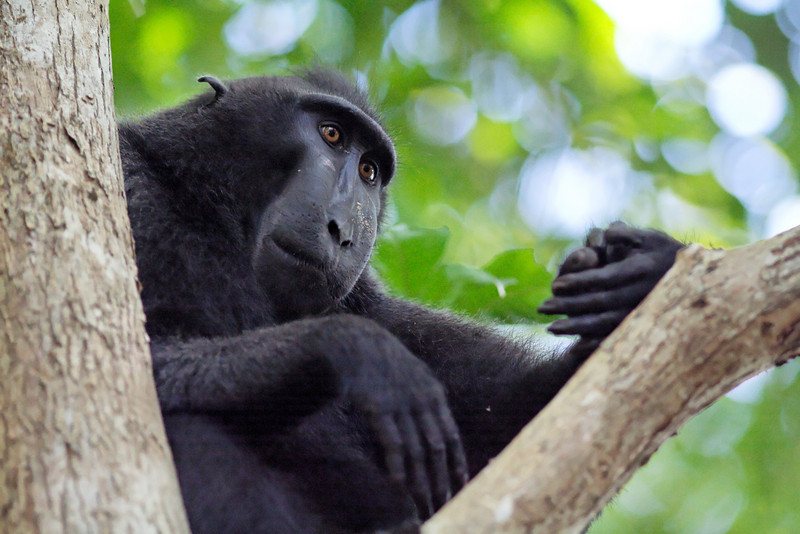 celebes macaque general discussion beautiful nature
