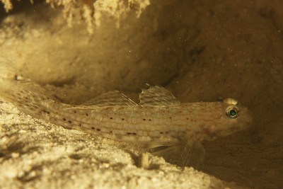 Istigobius decoratus - Djibouti, November 2011
