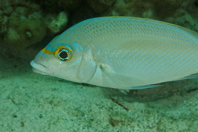Sea bream - Andaman Sea