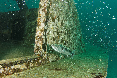 Barraccuda on a wreck - Andaman Sea