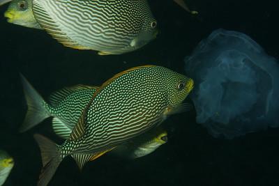 Siganus javus - Andaman Sea