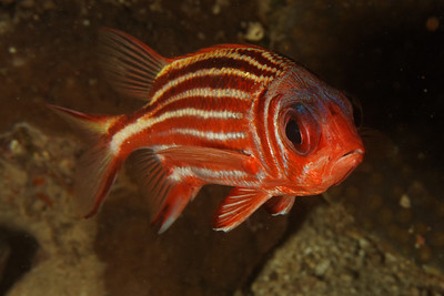 Squirelfish and Soldierfish