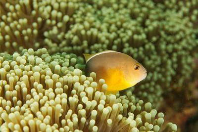 Amphiprion akallopisos - Andaman Sea