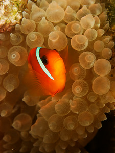 Clown fish - Andaman Sea