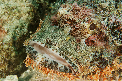 Scorpion fish - Andaman Sea