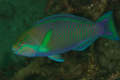 Parrotfish - Andaman Sea