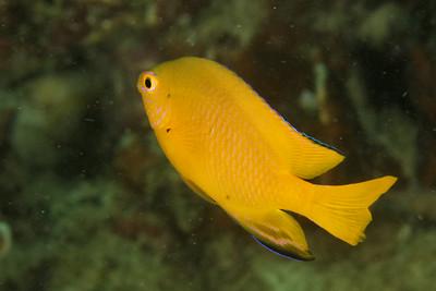 Pomacentrus moluccensis